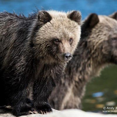 Brown Bear 057