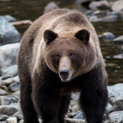 Brown Bear 060