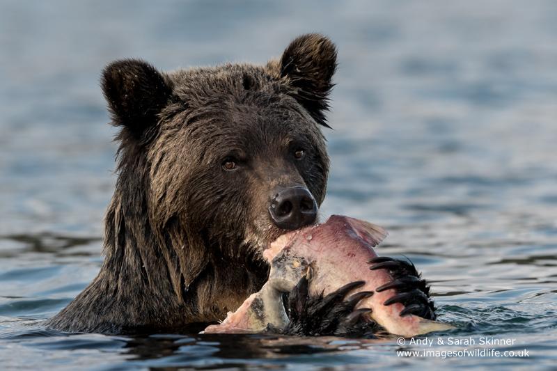 brown-bear-062