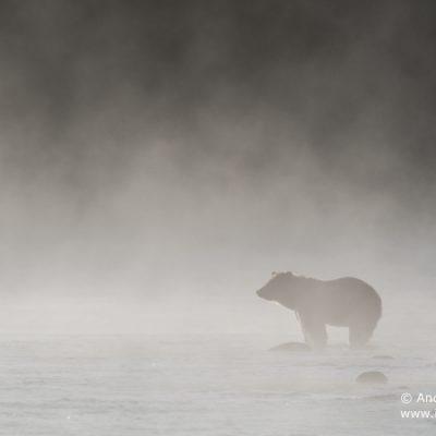 brown-bear-064