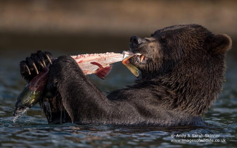 brown-bear-065