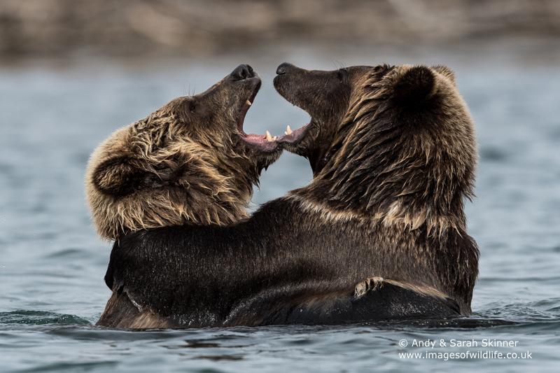 brown-bear-066