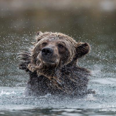 brown-bear-067