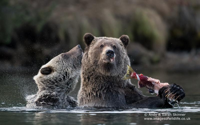brown-bear-068
