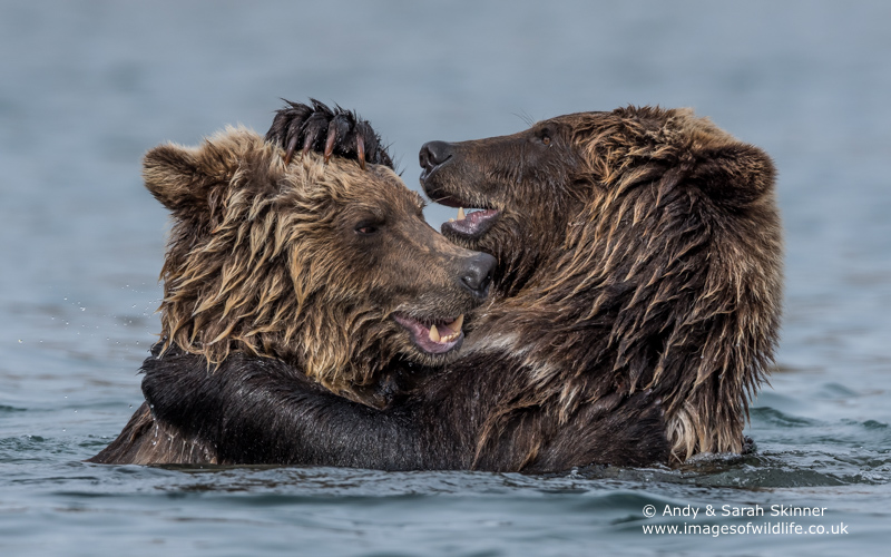 brown-bear-069