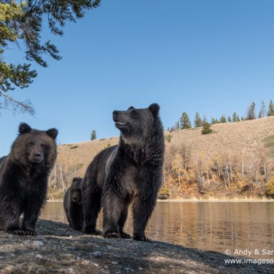 brown-bear-071