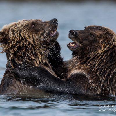 brown-bear-072