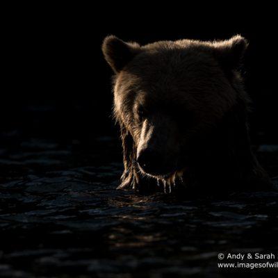 brown-bear-073