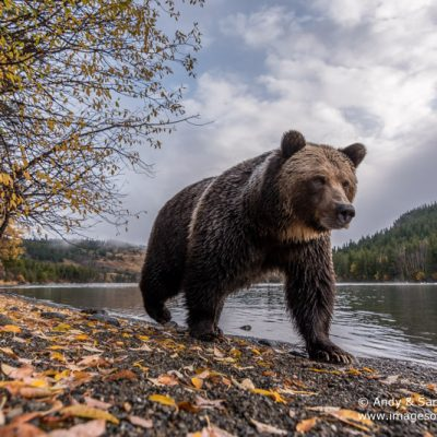 brown-bear-074