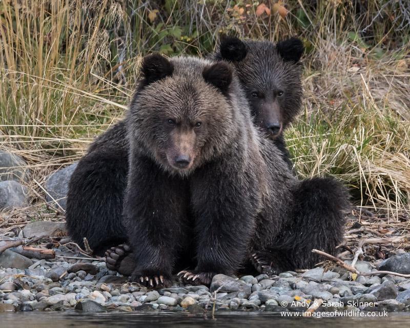 brown-bear-076