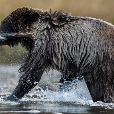 brown-bear-077