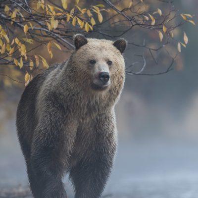 brown-bear-078