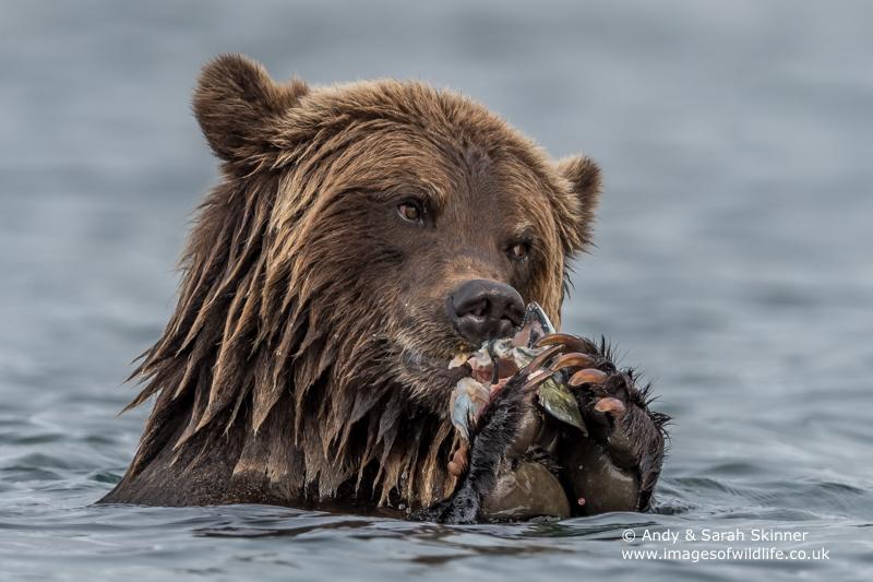 brown-bear-080