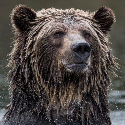 brown-bear-081