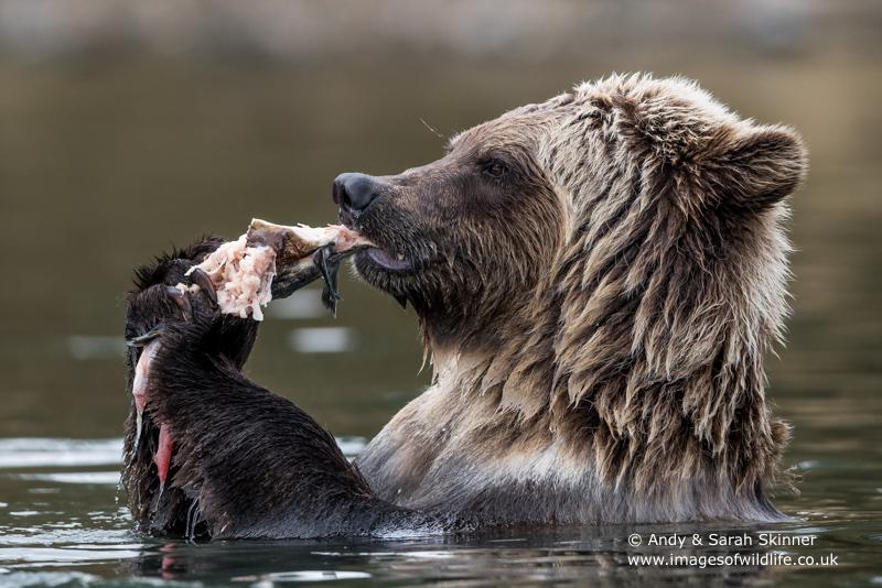 brown-bear-082