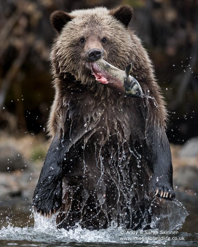 brown-bear-083