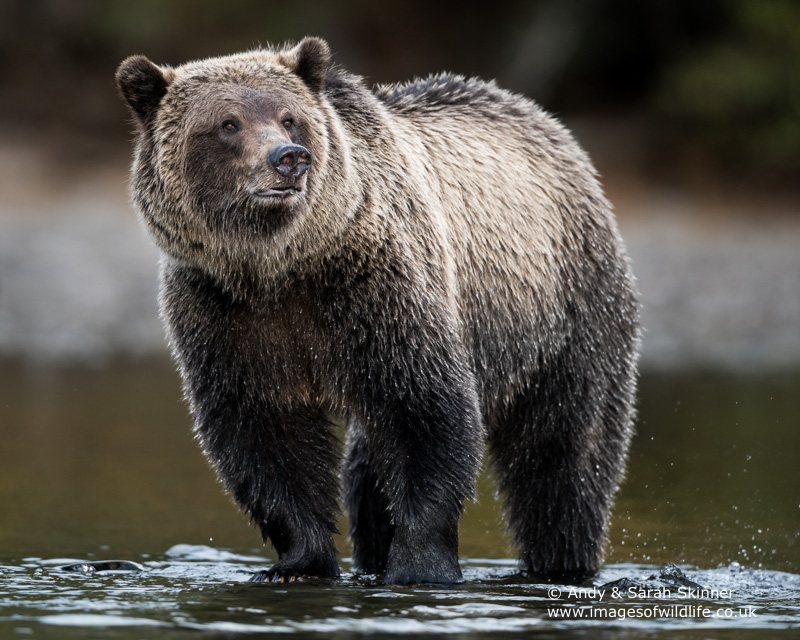 brown-bear-084