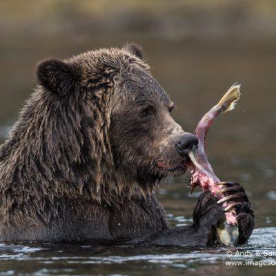 brown-bear-086