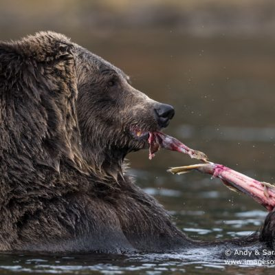 brown-bear-087
