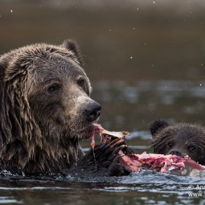 brown-bear-088