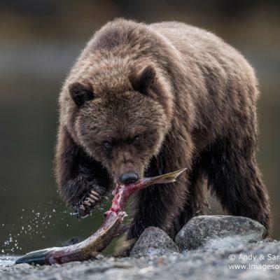 brown-bear-091