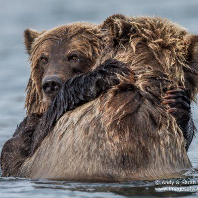 brown-bear-093