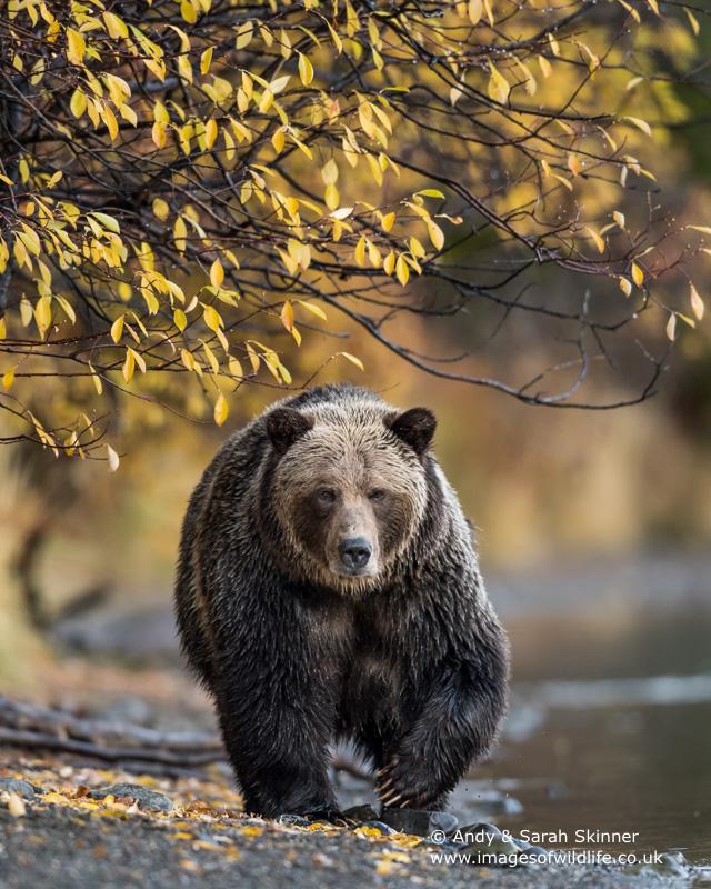brown-bear-094