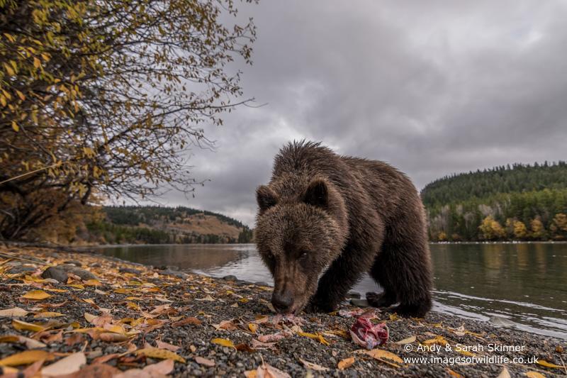 brown-bear-096
