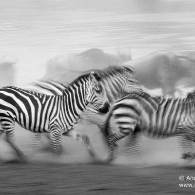 burchells-zebra-002