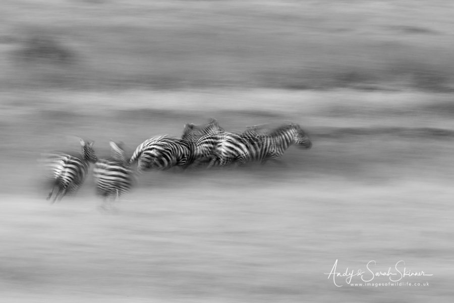 burchells-zebra-03
