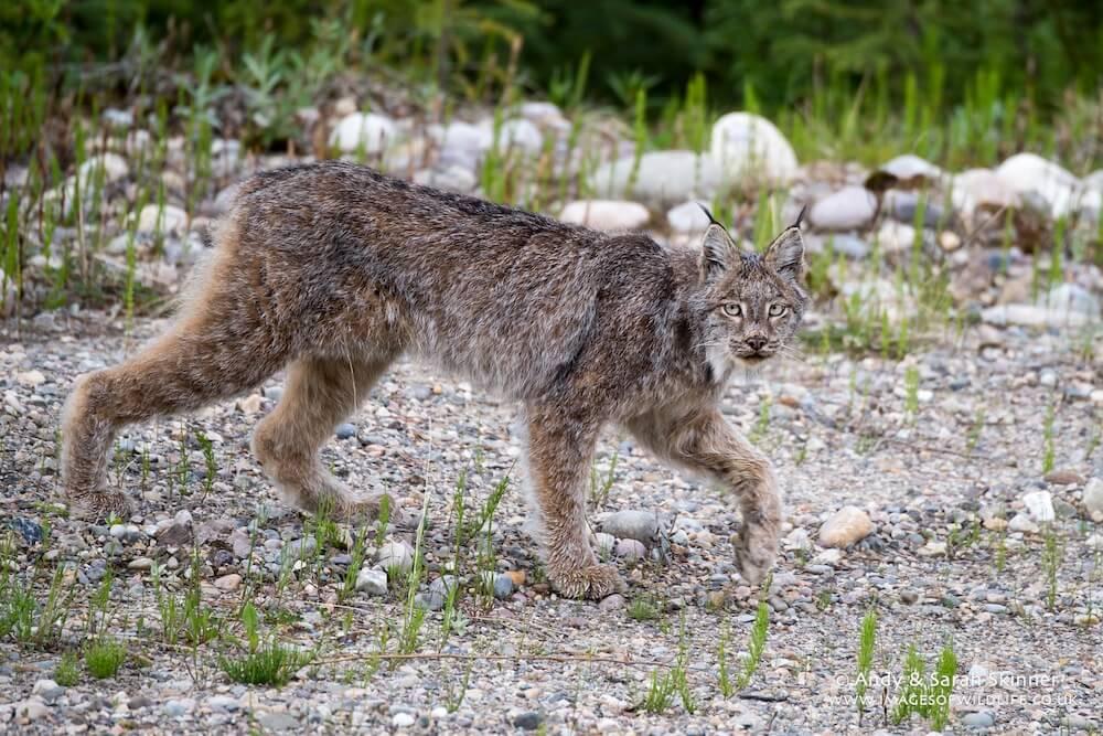 Canada Lynx 001