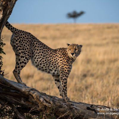 cheetah-017