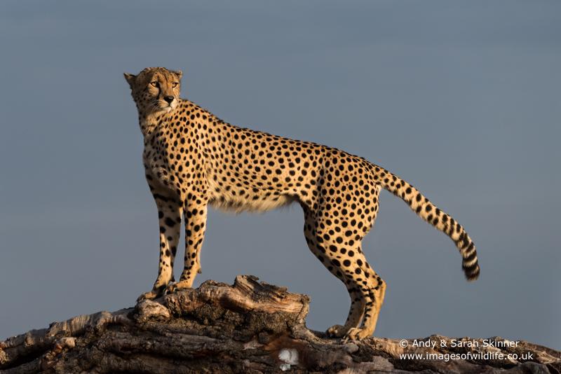 cheetah-018