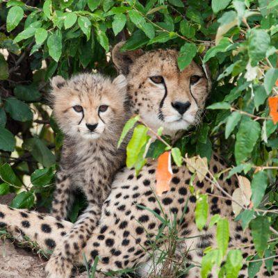 Cheetah-10