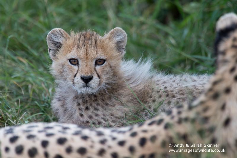 Cheetah-11