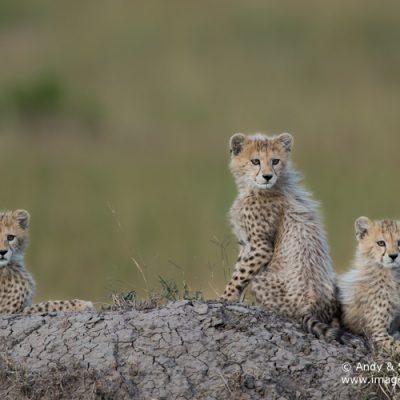 Cheetah-12