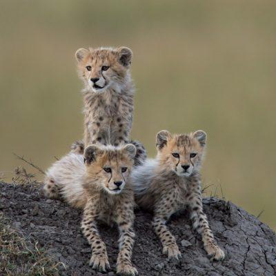 Cheetah-14