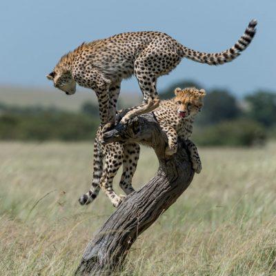 Cheetah-15