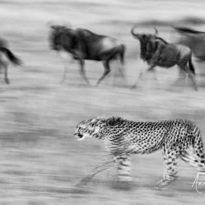 cheetah-19