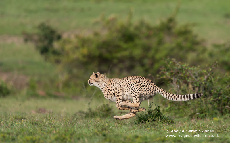 Cheetah-6