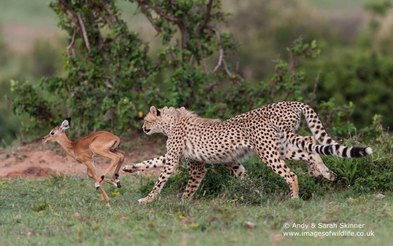 Cheetah-7