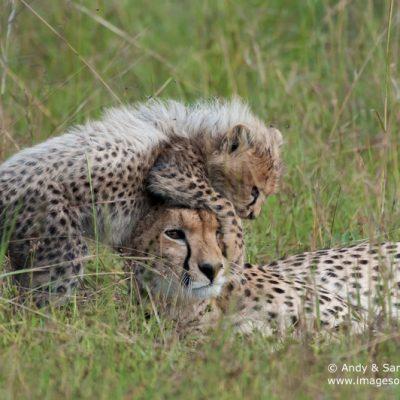 Cheetah-9
