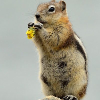 Golden Mantled Ground Squirrel 001