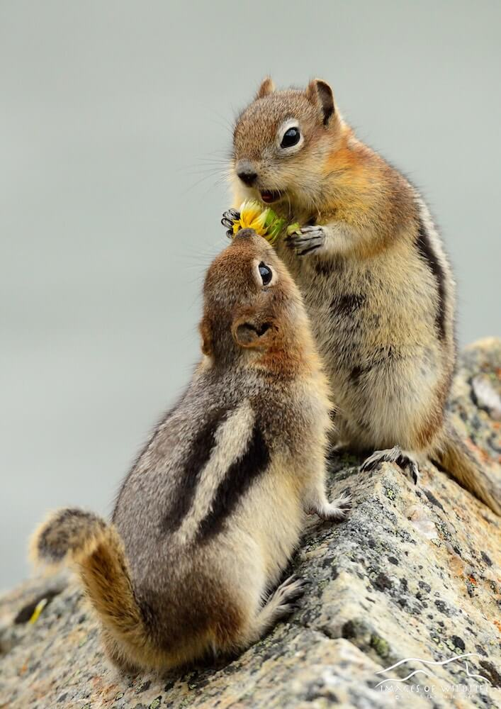 Golden Mantled Ground Squirrel 002