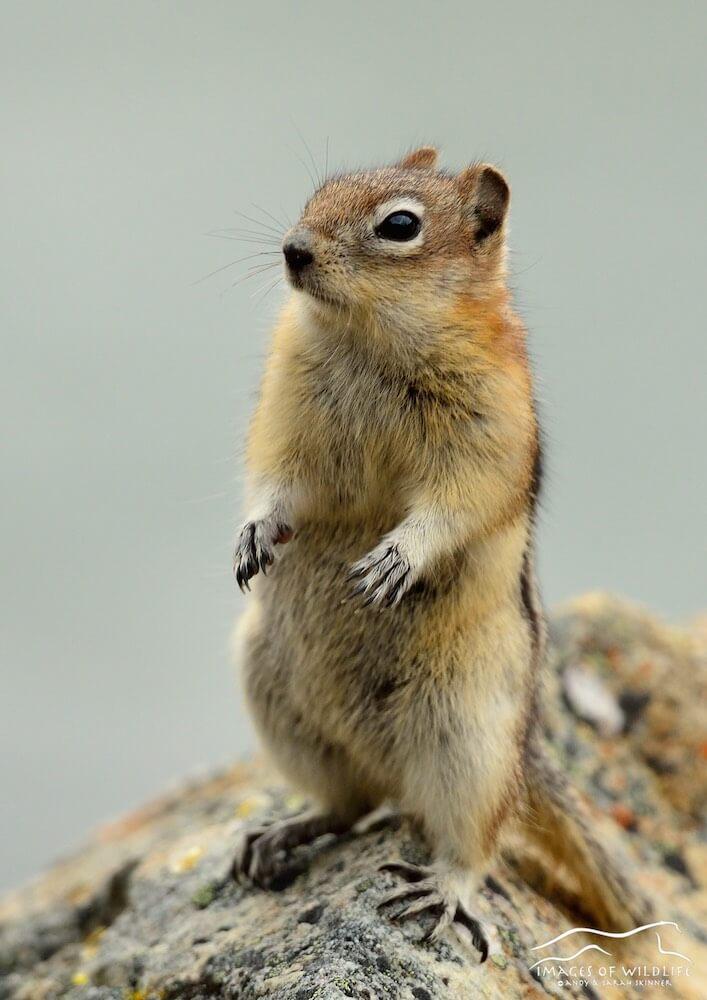 Golden Mantled Ground Squirrel 006