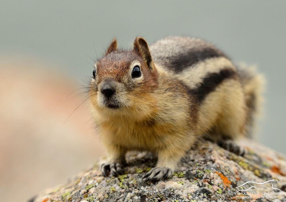 Golden Mantled Ground Squirrel 007