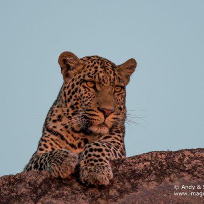 Leopard-14