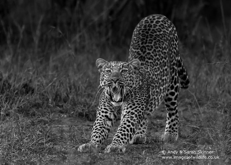 Leopard-18