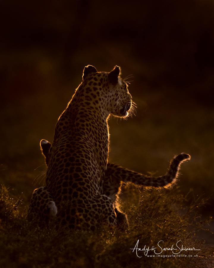 leopard-22