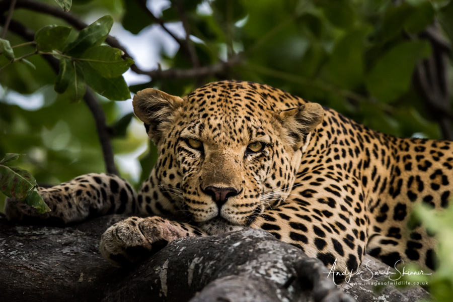 leopard-23